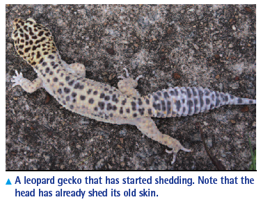 Leopard Geckos: Husbandry, Nutrition, and Breeding - VetFolio