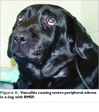 Canine Rocky Mountain Spotted Fever - VetFolio