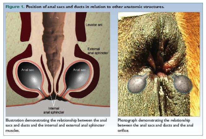 Anal sacculitis