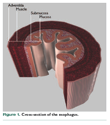 the esophagus does not have a serosal layer