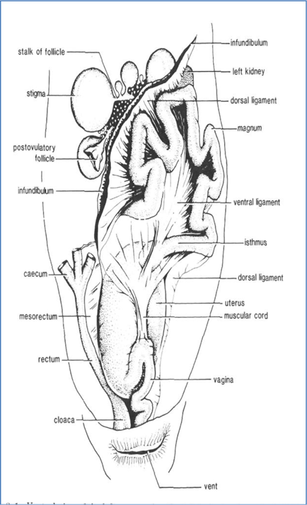 Anatomy reproductive system