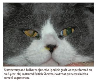 Managing Feline Corneal Sequestrum Vetfolio